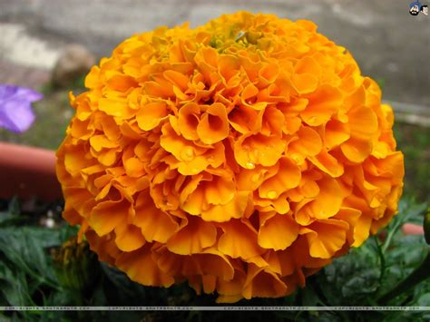 marigolds wallpaper 8
