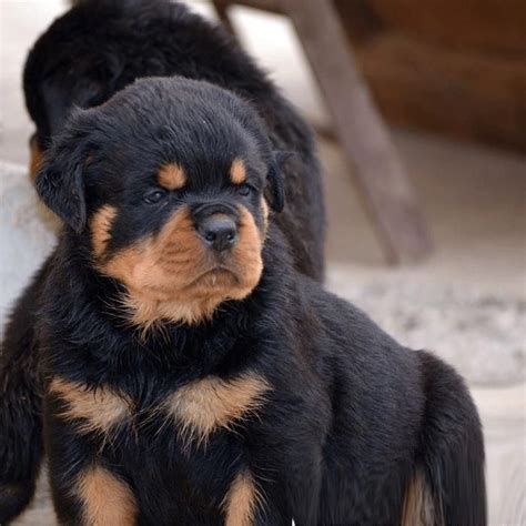 how fast can a rottweiler run 326 best rottweiler images on rottweilers doggies and pets
