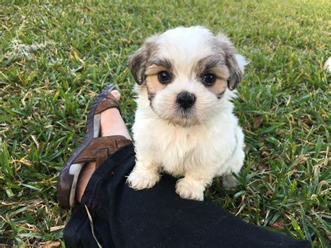 multi shih tzu maltese shih tzu breed information pictures multi colored mal shi pups for sale in