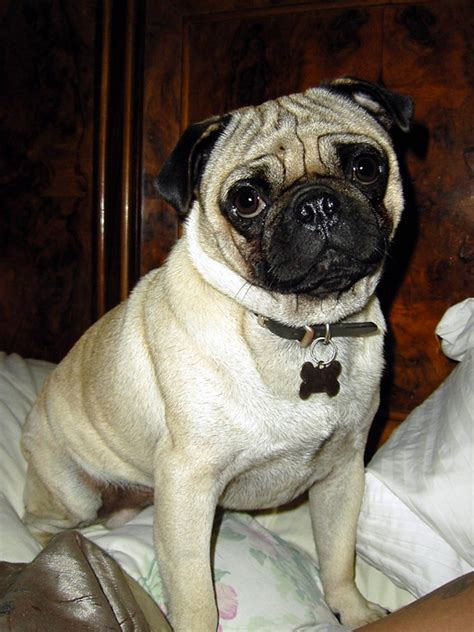 pugs in shelters shelter just pugs