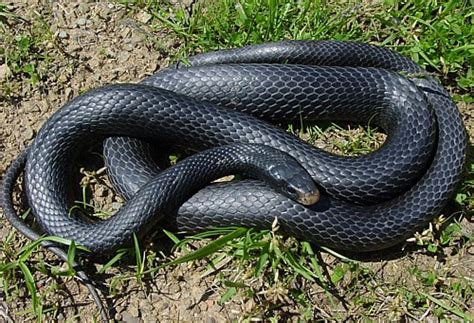 black racer snake removal snake trapping and control jacksonville
