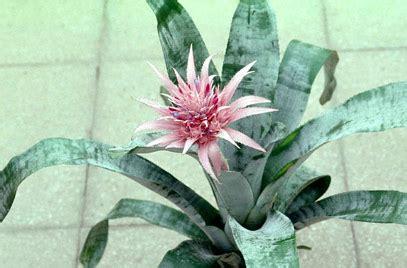 Silver Vase Plant by Aechmea Fasciata Silver Vase Plant Rhs Gardening
