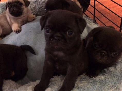 pug puppies for sale portland oregon akc puppies for sale in oregon akc marketplace