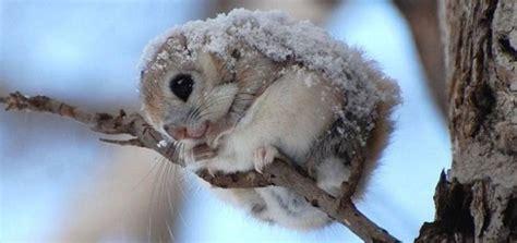 lo scoiattolo volante cos 232 lo scoiattolo volante siberiano cos 232 il per