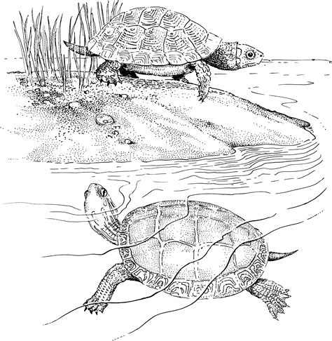 coloring pages snapping turtle free turtle coloring pages