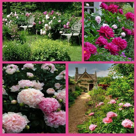 pink peonies nursery 70 best peonies just peonies images on pinterest pink