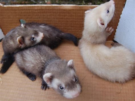petco dogs for sale pet ferret quotes