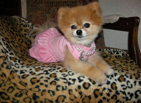 southern california pomeranian rescue best 20 pomeranian rescue ideas on pomeranian puppies for free tiny