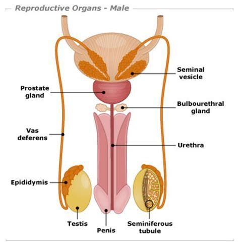 sexual diagram organ tv