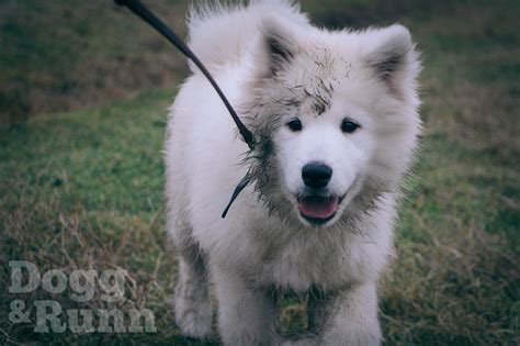 samoyed puppy for sale samoyed puppy for sale sunderland tyne and wear pets4homes
