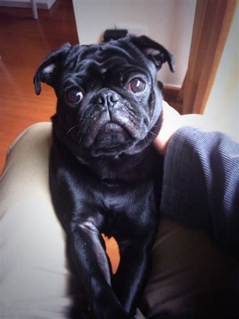 pug negro bebe 25 best ideas about pug negro on perritos pug negros cachorros de