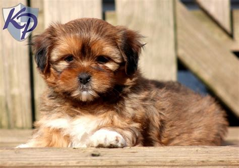 shorkie tzu puppies for sale magnum shorkie puppies for sale in pa keystone puppies shorkie puppies