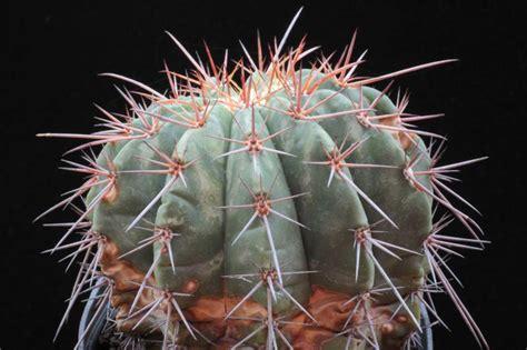 Melocactus Ernestii melocactus ernestii cactofili