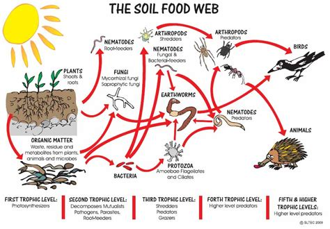 soil food web diagram healthy soil healthy garden noosa gardener