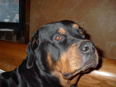 rottweiler rescue california anonymous rottweiler