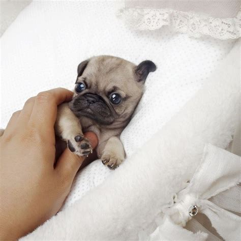 fluffy pugs for sale 17 best ideas about teacup pugs for sale on baby pugs for sale pugs for