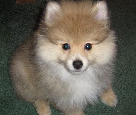 pic of pomeranian pomeranian photos pictures pomeranians