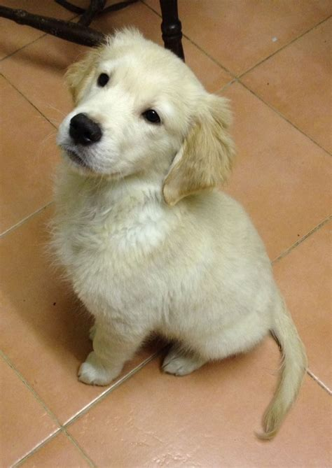 pedigree golden retriever puppies for sale beautiful pedigree golden retriever puppies gravesend kent pets4homes
