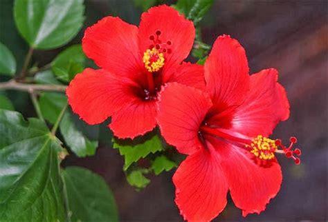 manfaat bunga sepatu  budidaya