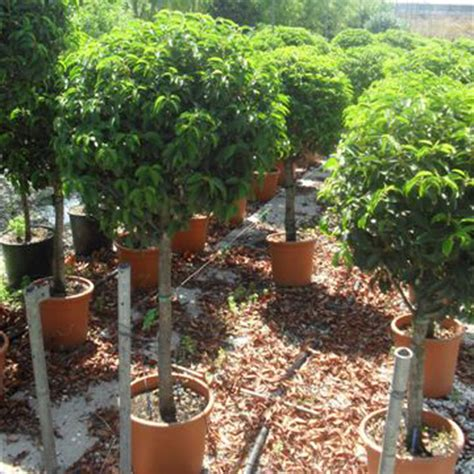 portuguese laurel topiary buy portuguese laurel lollipop tree cheap prunus