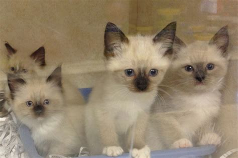 ragdoll mix kittens the house etc