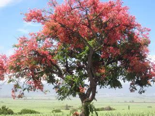 Shower Tree Hawaii by Brilliant Shower Trees Of Hawaii Ho Okipa Aikane On