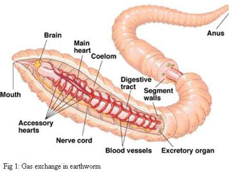 diagram of earthworm with label earthworm diagram external