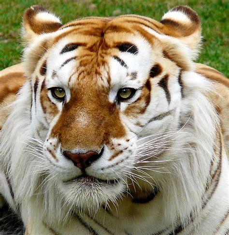 cinnamon tiger golden tabby tiger how do you make those animal costumes