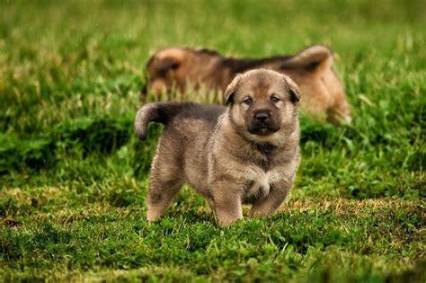 american alsatian puppies 17 best ideas about american alsatian on american german shepherd dire