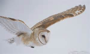 barn owl barn owl images mcpherson s on the wing photography