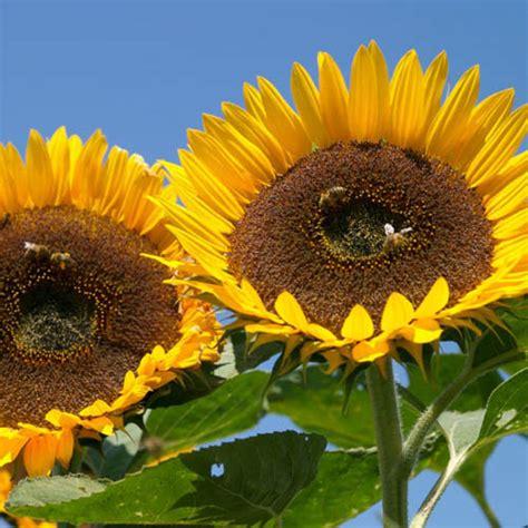 Biji Bunga Matahari Per Kg sunflower taiyo 10 biji bijibunga