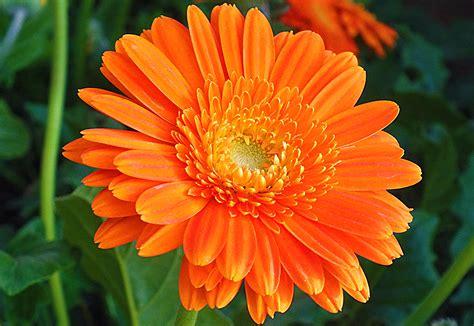 fiore di calendula calendula calendula officinalis