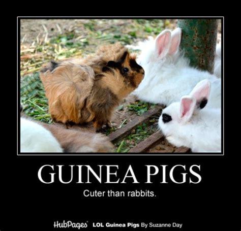 Guinea Pig Meme - cute guinea pig memes