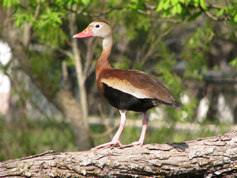black bellied whistling duck ebirdr