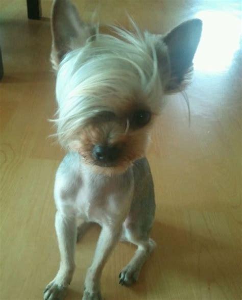 type of dog haircuts emo hair dog dani mccurtain omg it kind of looks like