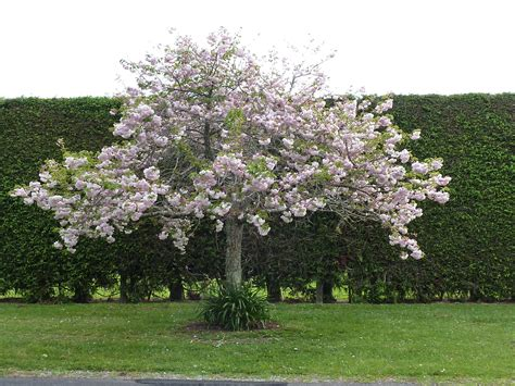 prunus shimidsu moonlight cherry tauranga tree co