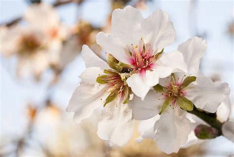 festa mandorlo in fiore la tradizione della sagra mandorlo in fiore
