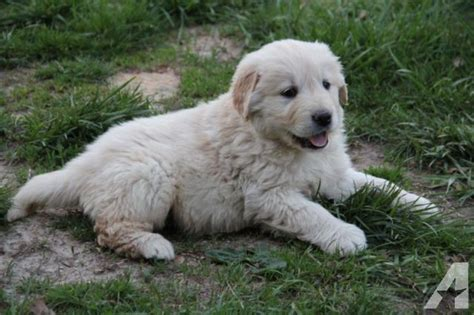 golden retriever puppies for sale in missouri akc golden retriever puppies for sale in rolla missouri classified americanlisted