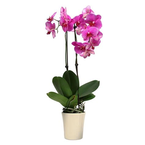 Small Living Room Furniture Arrangement Ideas just add ice orchids 5 in orchid in ceramic deco pot