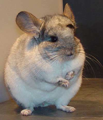 chinchilla world s softest fur animal pictures and