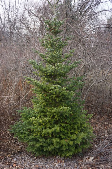 real balsam trees near me december wisdom from the trees arborsmith ltd 174 crafstman in the care of trees