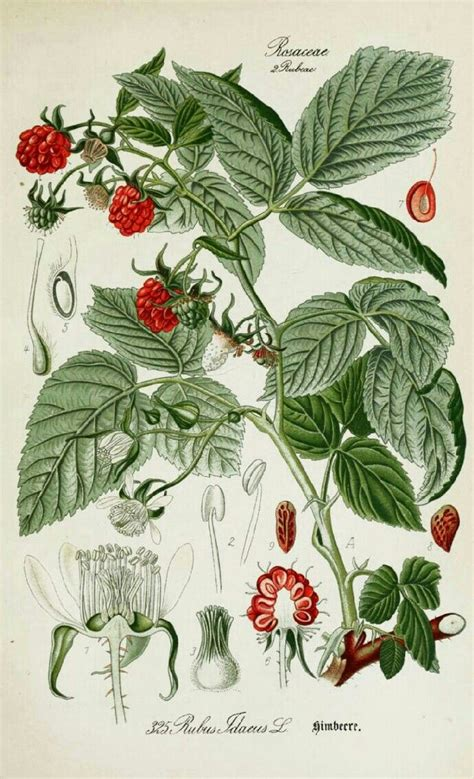 botanical illustration tattoo 497 best images about botanical on