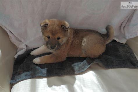 shiba inu puppies for sale in va shiba inu puppy for sale near roanoke virginia d8a4c002 2a91