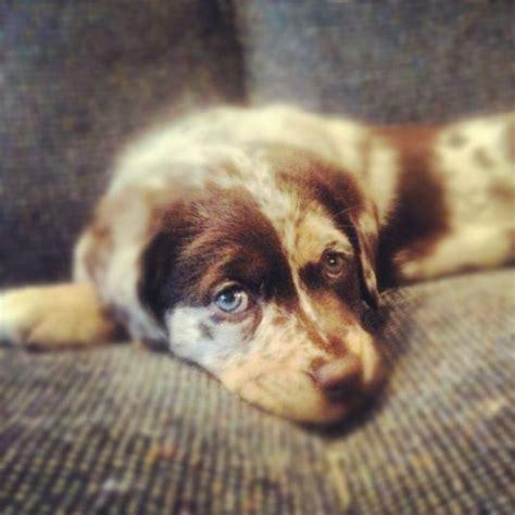 chocolate lab puppies craigslist australian shepherd puppies puppy pictures