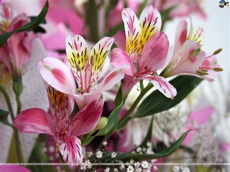 lilies or lillies lilies wallpaper 17