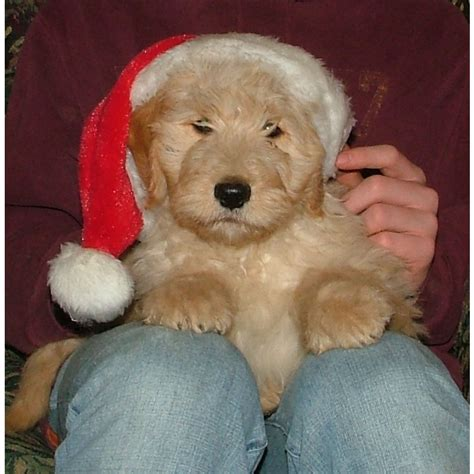goldendoodle kennel club puppies for sale goldendoodle goldendoodles f