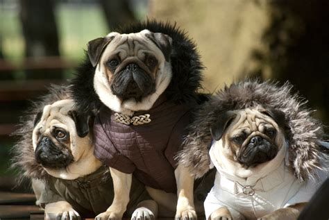 do pugs stay small all list of different dogs breeds pug small breeds