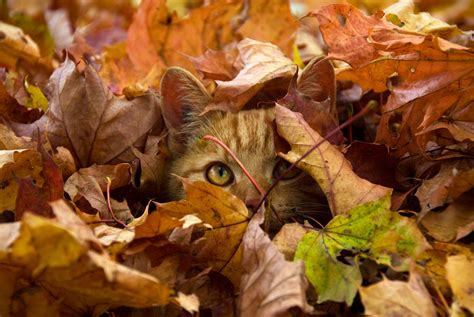 wallpaper chat automne 31 cats who are ready for fall
