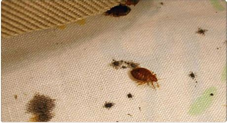 smoking bed bugs smoking bed bugs to get high 28 images kids are