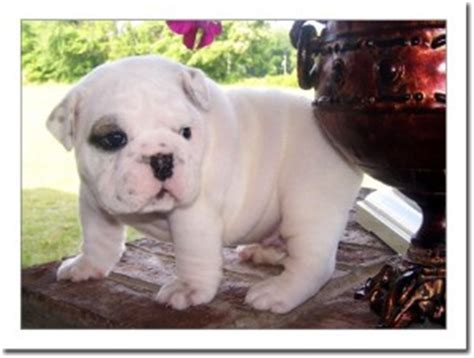 yorkie puppies for sale in cabot arkansas well bulldog puppies for sale cabot ar asnclassifieds